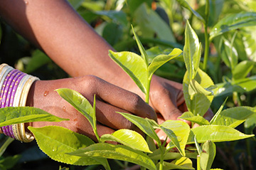 Teepflanze-fi_1522855489.jpg